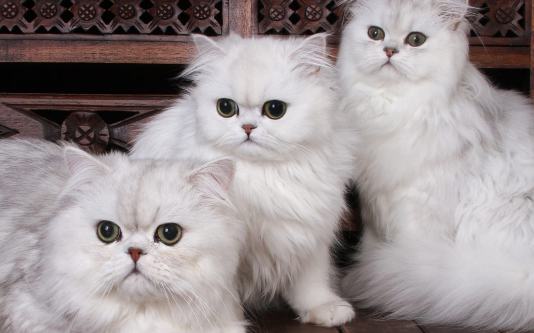 Curiosity and the Persian Cats